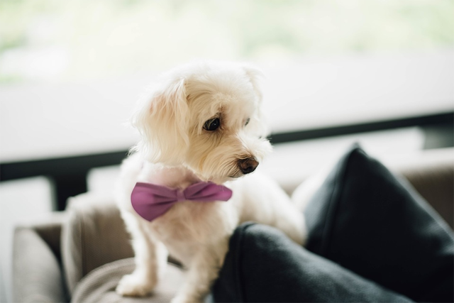 Coolest dog bow tie collars.